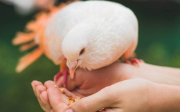 """Đây là loài vật bổ gấp 9 lần thịt gà, được mệnh danh là """"thuốc bổ thượng phẩm"""" giúp phụ nữ hồi xuân và """"miễn dịch"""" nhiều loại bệnh"""