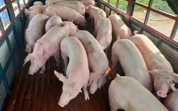 Hàng nghìn con lợn Thái Lan về Việt Nam, giá trong nước vẫn cao