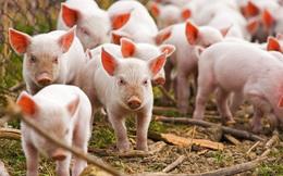 Cổ phiếu doanh nghiệp chăn nuôi tăng 790% từ tháng 4, thậm chí đã vượt qua thị giá của Dabaco