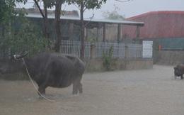 Dân Quảng Bình lùa trâu lên quốc lộ tránh lũ, cứu hộ chạy đua giải cứu bà cụ gãy chân tay kẹt trong nước