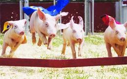 Chăn nuôi Mitraco (MLS): 9 tháng vượt 112% chỉ tiêu LNTT, xoá sạch lỗ luỹ kế 2019, cổ phiếu tăng gấp 5 lần kể từ tháng 4/2020