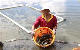 Nông dân Khánh Hòa nuôi cá mú đạt hiệu quả kinh tế cao