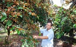 Sóc Trăng: Nông dân giàu có nhờ trồng cây đặc sản, trái cây mọng ngọt ngon còn bán được sang Mỹ