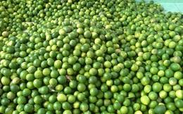 Chanh ta vào mùa, giá rẻ giật mình chỉ 10 ngàn/kg bán đầy các chợ