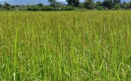 Hàng chục hộ dân ở Kon Tum thất thu vì lúa ma