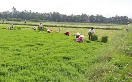 Nông dân Tiền Giang phấn khởi vì rau màu trúng giá