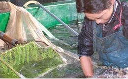 Cá hồi, cá tầm Việt Nam tìm hướng đi trong cuộc cạnh tranh mới