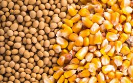 Những lý do khiến giá ngô và đậu tương thế giới tăng 25-30% trong 3 tháng qua