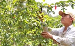 Sơn La: Trồng chanh leo, nhìn đâu cũng thấy trái, ông nông dân người Mông thu hàng trăm triệu