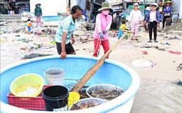 Phú Yên: Sau bão số 12, tôm hùm chết hàng loạt khiến người dân điêu đứng
