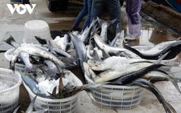 Ngư dân miền Trung được mùa cá thu