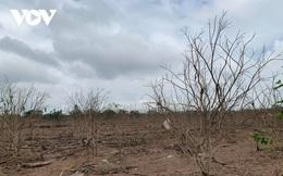 Nông dân Thừa Thiên Huế thiệt hại lớn khi hàng trăm ha cây thanh trà bị chết