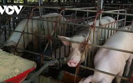 Giá thịt lợn liệu có tăng mạnh dịp cuối năm?