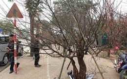 Thủ tướng nghiêm cấm chặt đào rừng chơi Tết
