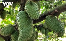 Nhà vườn Hậu Giang chuẩn bị gần 60 tấn trái mãng cầu xiêm phục vụ Tết