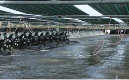 Sóc Trăng thắng lợi trong vụ tôm nuôi nước lợ năm 2020