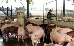 Nguồn cung dồi dào, giá lợn hơi giảm