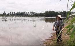 Nông dân Cà Mau nguy cơ trắng tay do đất lúa nhiễm mặn