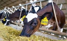 Sau 2 năm đổ nghìn tỷ vào trang trại bò sữa, NutiFood thu được gì?