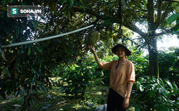 """Từ """"Điên mà trồng sầu"""" đến những vườn sầu riêng thu về hàng trăm triệu mỗi năm"""