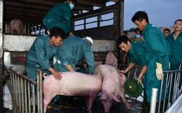 Nhập gần 100.000 con lợn sống từ Thái Lan, giá lợn hơi hạ nhiệt