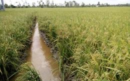 Sau hạn mặn, nông dân Tiền Giang được mùa, được giá vụ lúa Hè thu