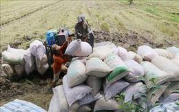 Thị trường nông sản tuần qua: Giá lúa giảm, giá tiêu, cà phê phục hồi