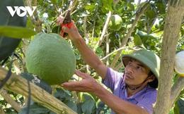 Trồng bưởi da xanh tiêu chuẩn Vietgap, nông dân Đắk Lắk thu tiền tỷ mỗi năm