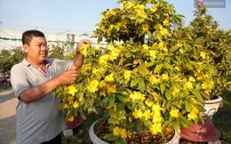 Cả nghìn cây mai Tết nở hoa sớm hơn cả tháng, nhà vườn ở Sài Gòn thiệt hại 15 tỷ đồng