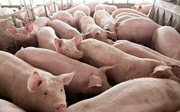 Đề nghị lập chuyên án điều tra về xuất lậu lợn sang Trung Quốc
