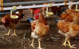 """""""Bão"""" Covid-19 chưa qua, người chăn nuôi Châu Á lại quay cuồng vì dịch cúm gia cầm"""