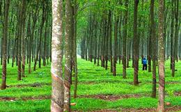 Cao su Quảng Nam (VHG) lỗ tiếp 78 tỷ đồng năm 2020, nâng tổng lỗ lũy kế lên 1.344 tỷ đồng