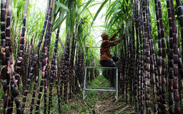 Mía đường Sơn La (SLS) báo lãi quý 2 niên độ 2020-2021 tăng trưởng 18%