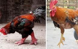 """Đọ """"sắc"""" 2 giống gà quý được ưa chuộng ngày Tết, giá """"trên trời"""""""