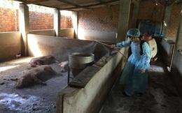 Chi hỗ trợ cho người chăn nuôi bị thiệt hại do dịch tả lợn châu Phi