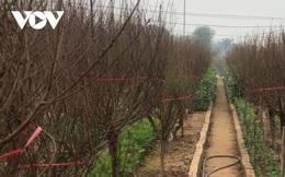 Người trồng đào, quất tất bật vào mùa Tết