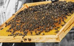 Không phải mật ong, đây mới là thứ được lấy ra từ tổ ong vừa giúp trị bệnh lại làm đẹp vô cùng hiệu quả mà nhiều người không hay biết