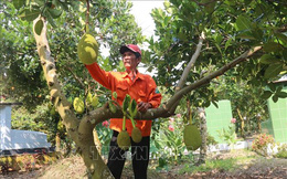 Đầu năm, mít Thái tại Tiền Giang được giá