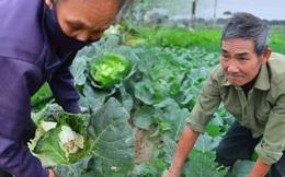 Nước mắt sau Tết: Người nông dân nhổ bỏ cải bắp, su hào vì ế không bán được