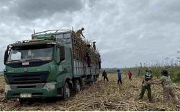 Mía được mùa được giá, người trồng ở Đắk Lắk phấn khởi