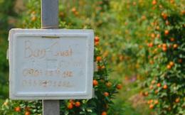 """Ảnh: Hàng nghìn cây quất bonsai bạc triệu vẫn nằm im ở vườn, nông dân chẳng buồn ra đồng vì """"ngồi trên đống nợ"""""""