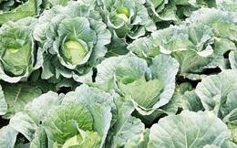 Nông dân Lâm Ðồng kêu gọi 'giải cứu' rau xanh
