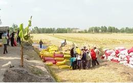 Giá lúa tăng cao, nông dân ĐBSCL thu lời gấp 2-3 lần năm ngoái