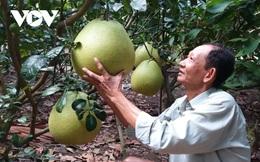 Nhà vườn trồng bưởi Thúng bán Tết giá gấp 20 lần bưởi da xanh