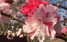 Cây hoa đào mix 3 màu đỏ - hồng - trắng siêu quý hiếm khoe sắc rực rỡ khiến dân mạng xôn xao, trầm trồ