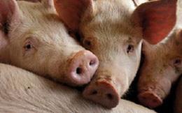 Việt Nam nhập gần 1.400 lợn cụ kỵ trong năm 2020