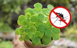 9 loại cây cảnh có tác dụng đuổi muỗi trồng trong nhà tốt nhất