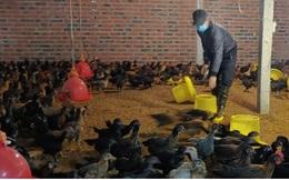 Giá thức ăn chăn nuôi tăng mạnh khiến nông dân gặp khó