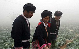 Trồng rau sạch có thu nhập hàng chục triệu đồng ở Vân Hồ, Sơn La