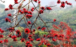 Hoa gạo nở đỏ rực từng khoảng trời: Vừa đẹp vừa ấm áp lại có thể làm thuốc chữa bệnh siêu hay
